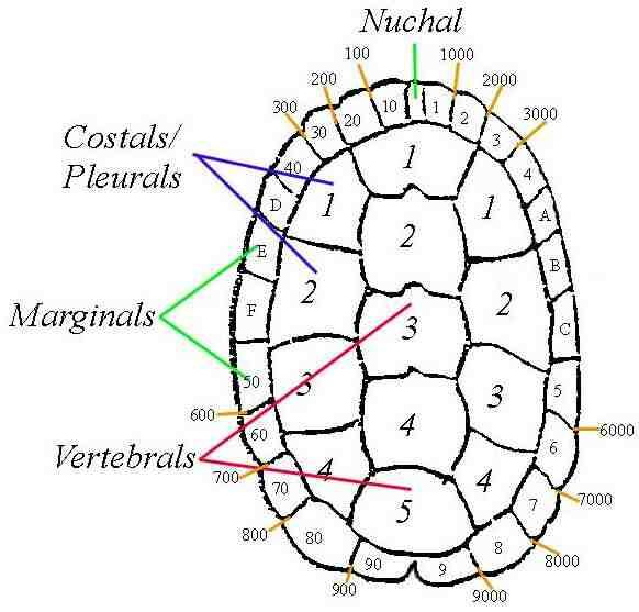 Turtle Notching Diagram Electrical Work Wiring Diagram