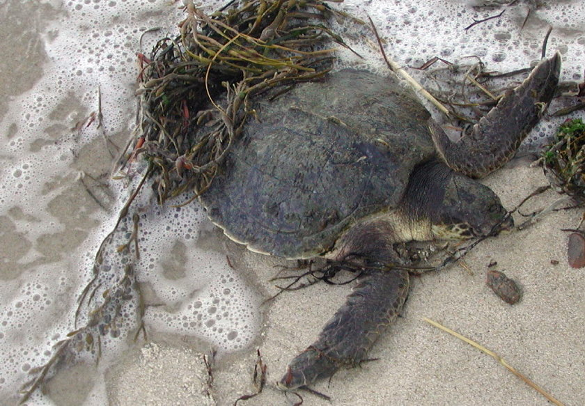 Cold-Stunned Kemp?s Ridley Sea Turtle (File Photograph)