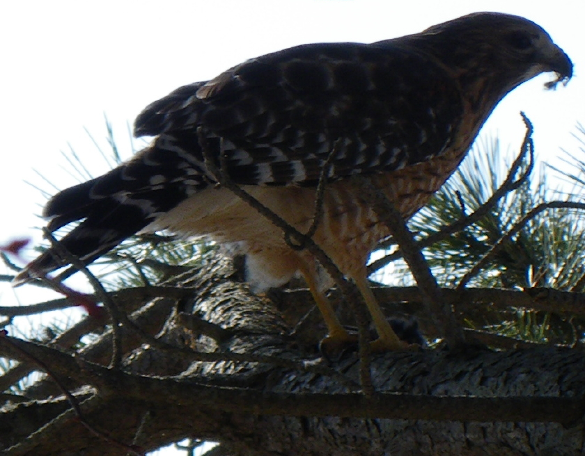 hawk-21-feb-09-003-closeup-cropped-840
