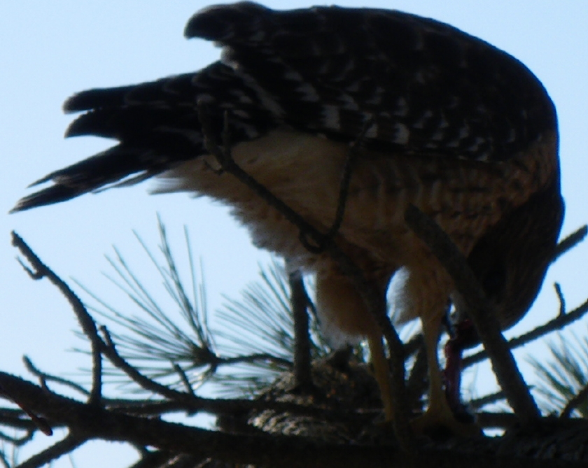 hawk-21-feb-09-004-closeup-cropped-840