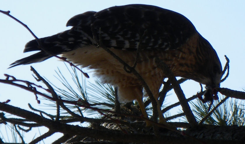 hawk-21-feb-09-005-closeup-840