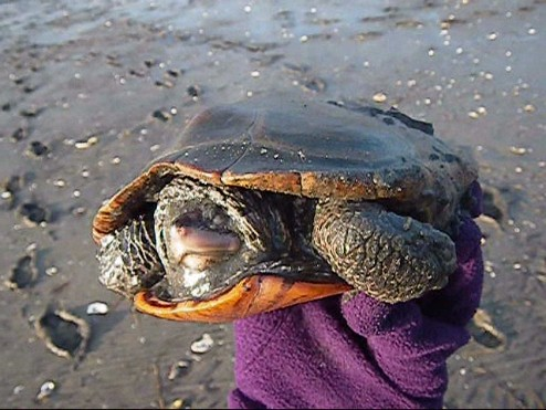 rescue-of-cold-stunned-terrapin-2102_0001