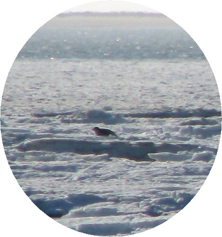 ice-on-oyster-reef-9-feb-09-002-seal