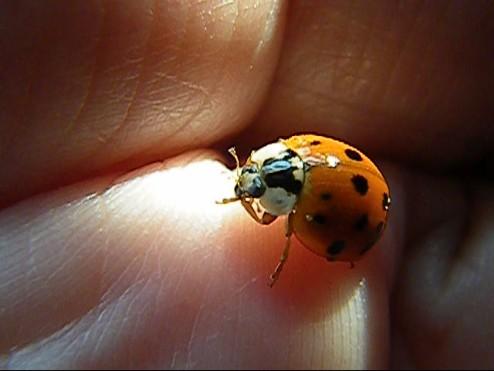 ladybug 000