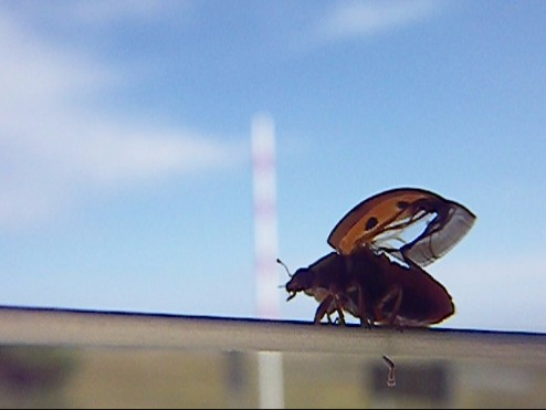 ladybug 002