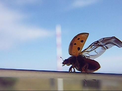 ladybug 003