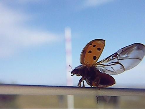 ladybug 006
