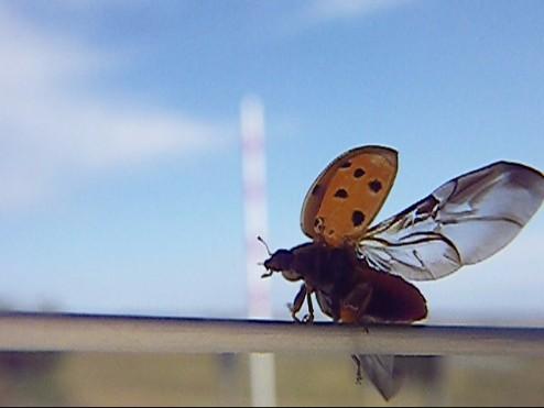 ladybug 008