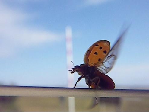 ladybug 009