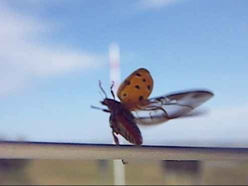 ladybug 010