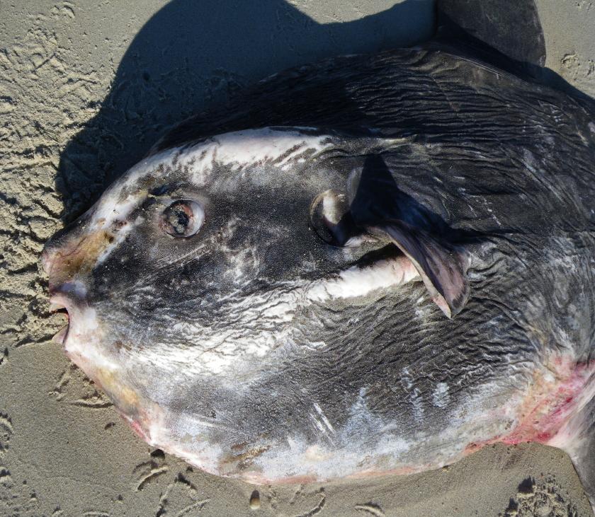 004 snout mouth operculum gills pectoral  fin