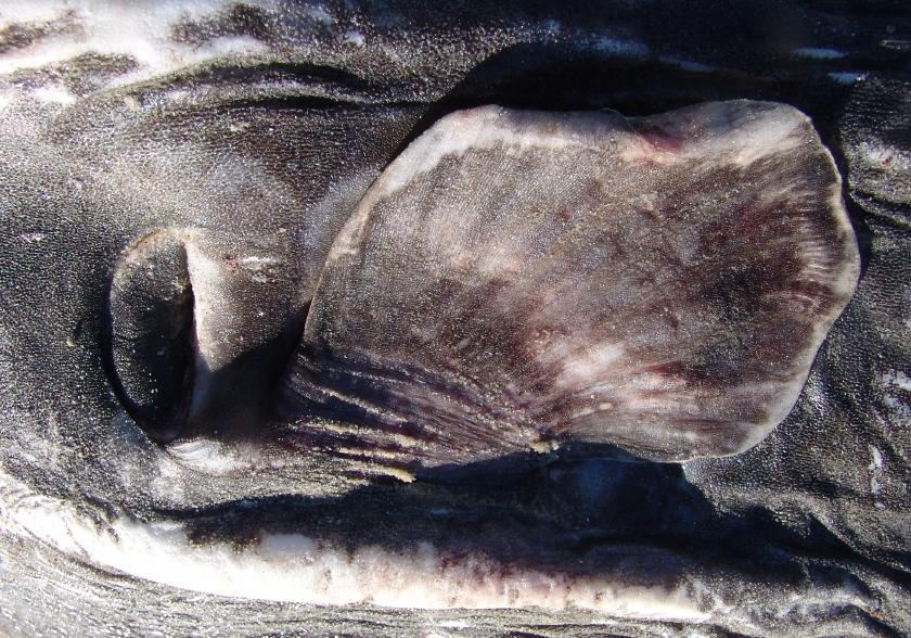 005 operculum gills pectoral fin