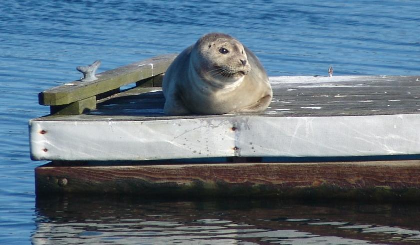 wellfleet harbor seal 002 840