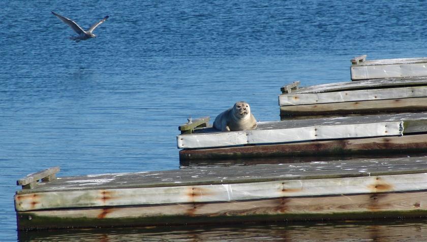 wellfleet harbor seal 003 840