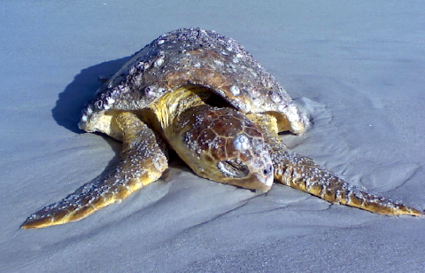 loggerhead sea turtle Naples Florida cropped 480