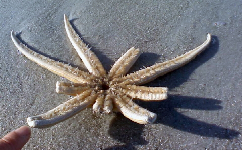 sea star Naples 480