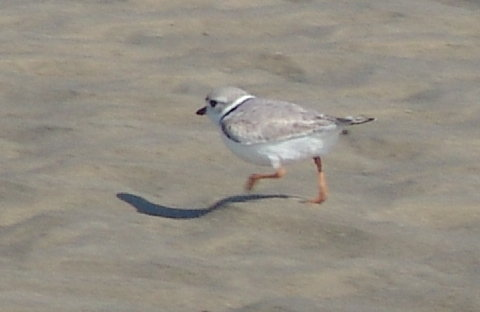 piping plover 21 Mar 2010 003 480