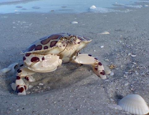 calico box crab 10 April 2010 003 480
