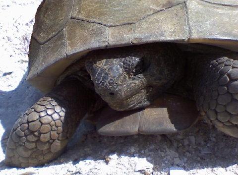 gorpher tortoise 10 April 2010 002 closeup 480
