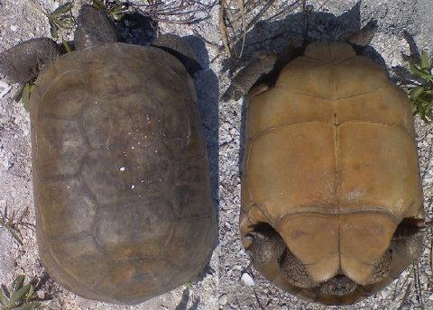 gorpher tortoise 10 April 2010 005 480