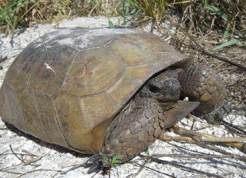 gorpher tortoise 10 April 2010 006 480