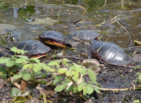 painted turtles 30 Apr 10 001 480