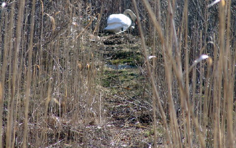 swan nest 001 fix 480