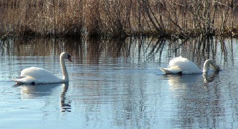 swan nest 005 closeup fix 480