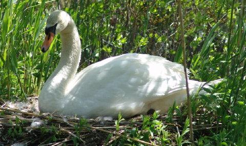 mute swan cygnets 011 480