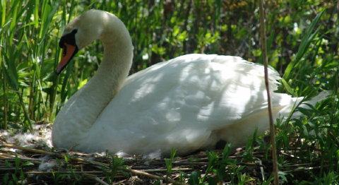 mute swan cygnets 012 480