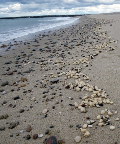 Thousands Of Depredated Surf Clams Wash Ashore On Scusset