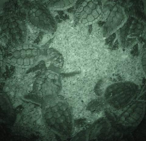 loggerhead hatchlings emerge mote 480