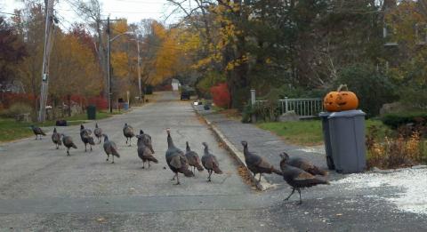 marion turkeys 001 480