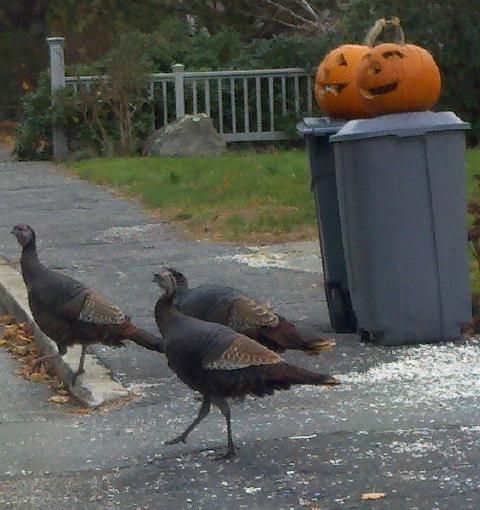 marion turkeys 002