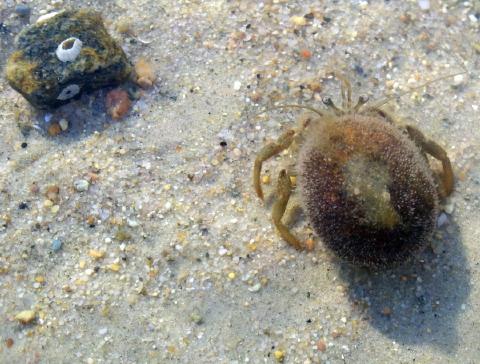 flat clawed hermit crab apr 2011 002 480
