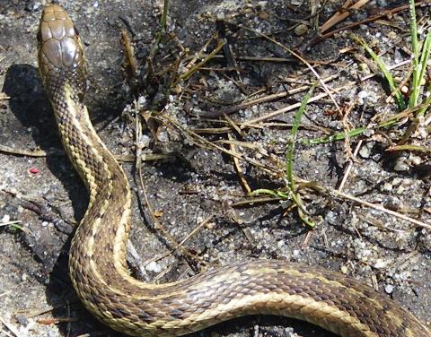 garter snake 17 Apr 2011 002 closeup 480