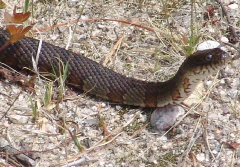 snake 000 closeup 480