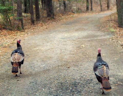 stgb 10 apr 2011 013 turkeys 480