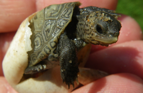 hatchling 2011 010 480