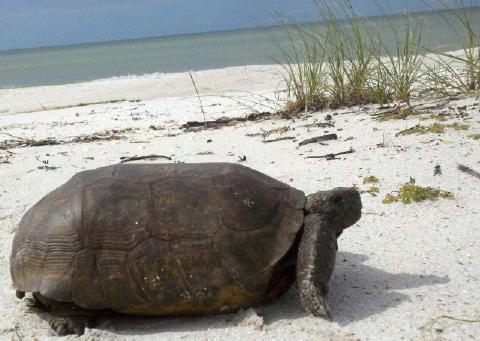 1 November Gopher Tortoise 480 web