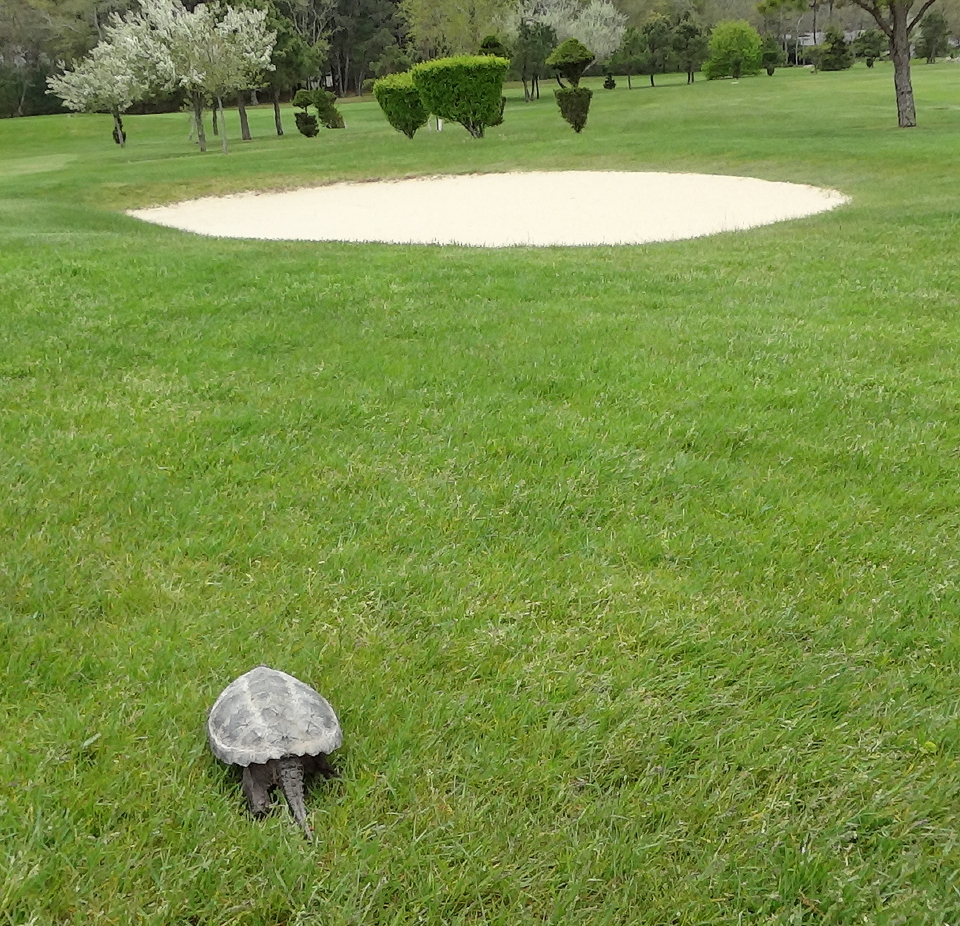 Snapping Turtle Takes Up Golf in Wareham « Turtle Journal