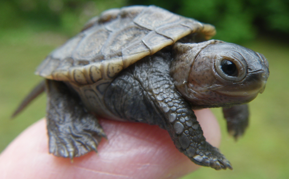 Terrapins ? the Small and the Large of Them ? Turtle Journal