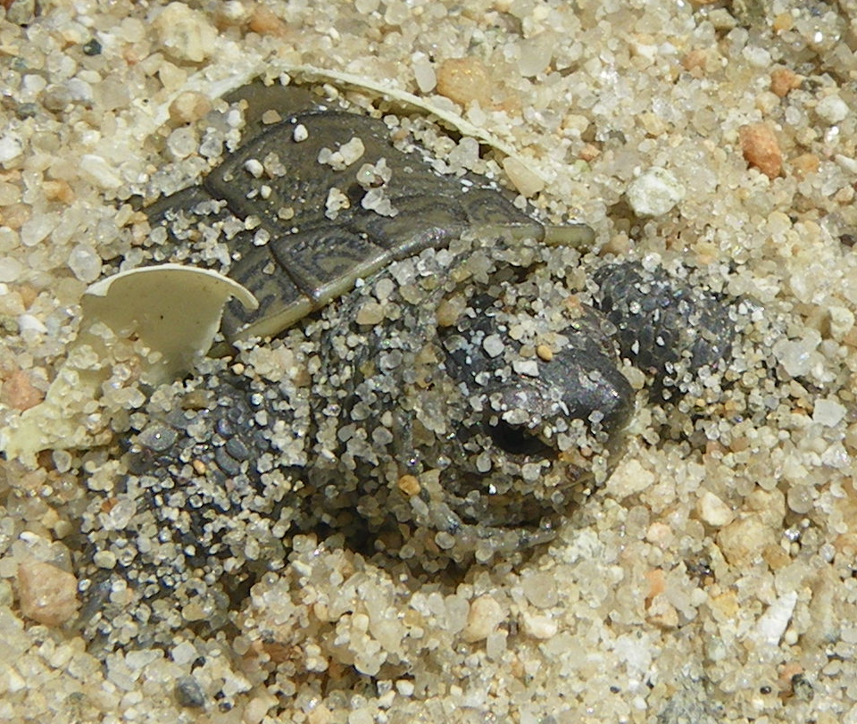 Baby turtles begin hatching on southcoast 171 turtle journal