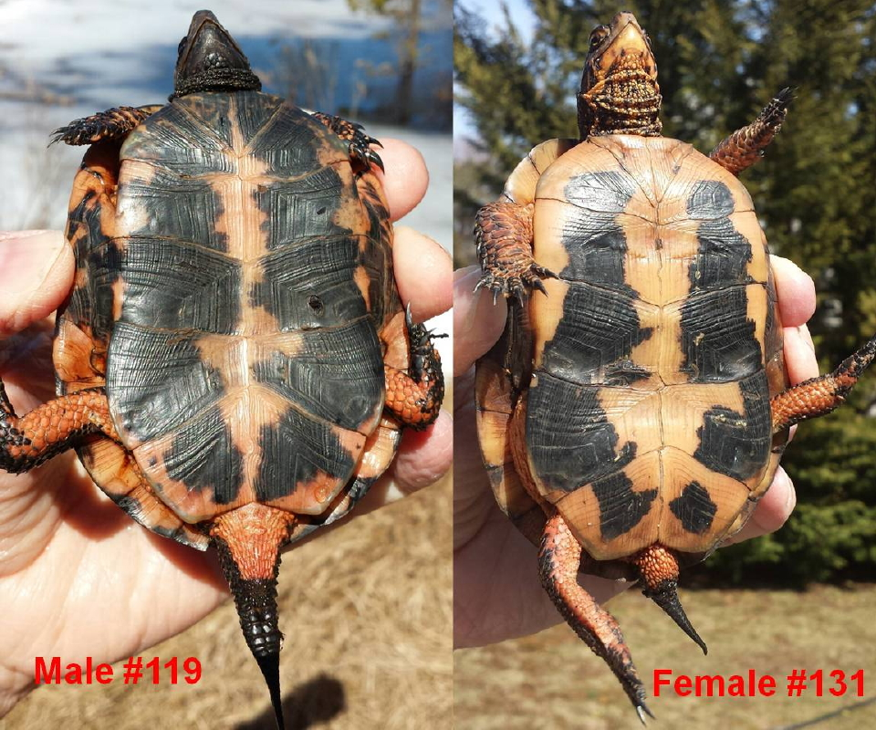 turtle male and female